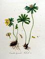 Eranthis hyemalis — Flora Batava — Volume v9.jpg