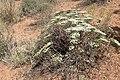 Eriogonum corymbosum kz10.jpg