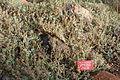 Eriogonum ternatum - Regional Parks Botanic Garden, Berkeley, CA - DSC04394.JPG