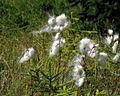 Eriophorum angustifolium - Krnes 2.jpg