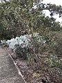 Eucalyptus incerata.jpg