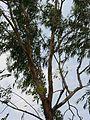 Eucalyptus tree (536974683).jpg