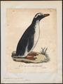 Eudyptes papua - 1825-1834 - Print - Iconographia Zoologica - Special Collections University of Amsterdam - UBA01 IZ17800227.tif