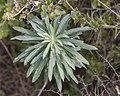 Euphorbia characias, Sète 02.jpg
