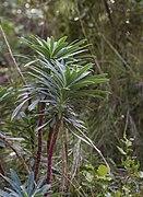 Euphorbia characias, Sète 04.jpg