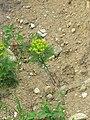 Euphorbia cyparissias, Đerdapska klisura.jpg