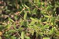 Euphorbia nutans (Nickend-Wolfsmilch) IMG 8825.JPG