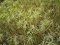 Euphorbia regis-jubae (Cueva del Belmaco) 03.jpg