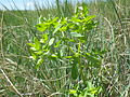 Euphorbia spathulata (7495153382).jpg