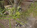 Euphorbia tirucalli 0003.jpg