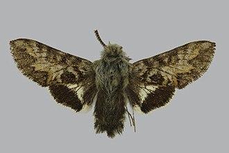 Euproserpinus euterpe - Image: Euproserpinus euterpe BMNHE813411 male up