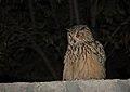 Eurasian Eagle-owl (Bubo bubo) (32233906105).jpg