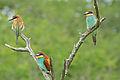 European Bee-eaters (Merops apiaster) (16668647566).jpg