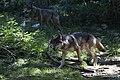 European Wolf photographed by Elias Neil (Photographer, Adventurer & Explorer).jpg