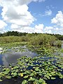 Everglades View - panoramio (7).jpg