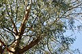 Ewcalyptws Portmeirion Eucalyptus - geograph.org.uk - 708414.jpg