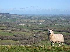 Ewe on the edge of Marshwood Vale (geograph 2830522).jpg