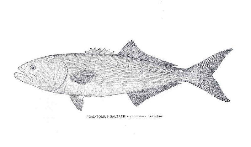 File:FMIB 33919 Pomatomus Saltarix (Linnaeus).jpeg