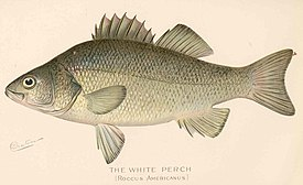 FMIB 43157 White Perch (Roccus americanus).jpeg