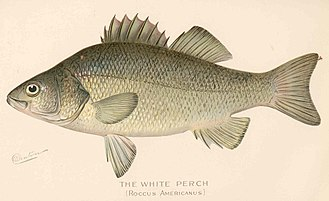 White perch - Image: FMIB 43157 White Perch (Roccus americanus)