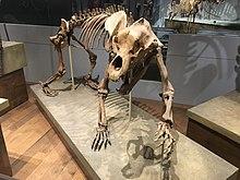 FMNH Cave Bear.jpg