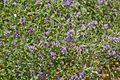 Fabaceae sp.-CTJ-IMG 6335.jpg