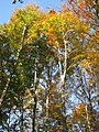 Faget forest (3043455896).jpg