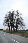 Famous tree Tilia cordata near Třebenice, Třebíč District.JPG