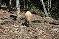Feral goat-2.jpg