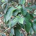 Ficus coronata.jpg