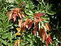 Ficus ingens 3c.JPG