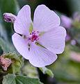 Fleur Guimauve.jpg