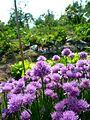 Fleur de ciboulette violette.JPG