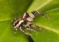 Flickr - Lukjonis - Jumping spider - Evarcha falcata.jpg