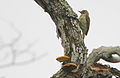 Flickr - Rainbirder - Mombasa Woodpecker (Campethera mombassica).jpg