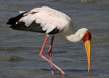 Flickr - don macauley - Mycteria ibis 3.jpg