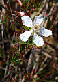 Flickr - ggallice - Southern Dewberry - Rubus trivialis.jpg