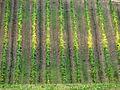 Flickr - lo.tangelini - Sinfonia de la uva III.jpg