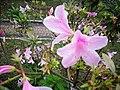 Flor - panoramio - tiowalmes.jpg