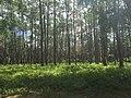 Florida Longleaf Pine Sandhill at Devil's Millhopper Geological State Park.jpg