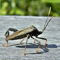 Florida leaf-footed bug (Go Gators!) (5831684675).jpg