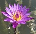 Flower of cape blue waterlily.jpg