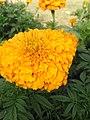 Flower of uog.jpg