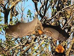Flying fox stretching.JPG