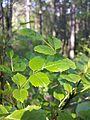 Fraxinus ornus (subsp. ornus) sl3.jpg
