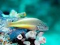Freckled hawkfish (Paracirrhites forsteri) (32326018851).jpg