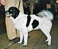 Frisian water dog.jpg