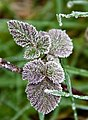 Frozen blackberry leaves (8404027053).jpg