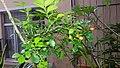 Fruit for orange-jasmin (Matured).jpg