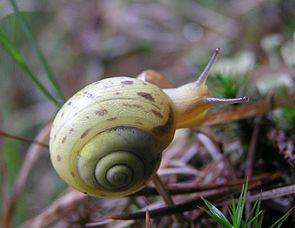 Genabelte Strauchschnecke (Fruticicola fruticum)
